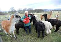 Food for thought: Elaine Sharpe credits alpacas with helping her get through a difficult time of coping with cancer